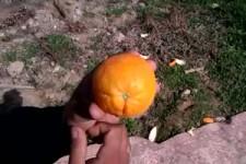 So Vermehren sich Orangen
