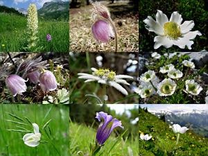 Alpenblumen - Alpine Blumen