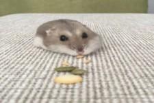 Hungriger Hamster