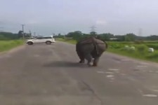 Nashorn geht Gassi