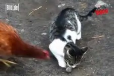 Von wegen Vegetarier - Huhn klaut Katze Maus -
