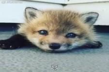Gerettetes Fuchs Baby