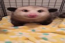 Opossum schmatzt