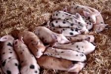 14 Schweine schlafen