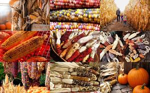 Fall Corn - Herbst Mais