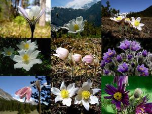Alpenanemonen - Luci - (Blumen)