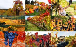 Autumn Grapes - Herbsttrauben