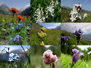 Alpenflora-2 - Alpenblumen 2