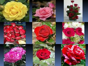 Beautyful Rosen 3
