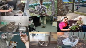 Mutige Koalas.Erika