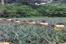 So werden Ananas geerntet