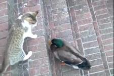 Katze liebt Ente, Ente liebt Katze