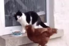 Katze gegen Henne