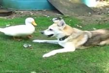 Ente spielt mit dem Hund