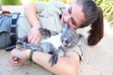 Mit einem Koalabären schmusen