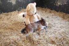 Das Pony und der Teddybär