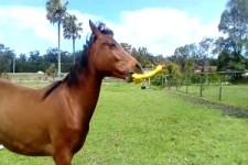 Neues Spielzeug fürs Pferd