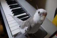 Nymphensittich singt