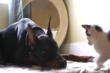 Katze spielt mit Dobermann