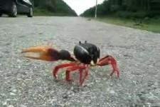 Leg Dich nicht mit einer Krabbe an