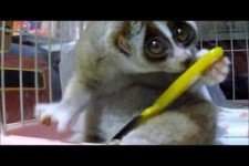 Brushing Slow Loris