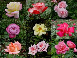 Fragrant roses - Duftende Rosen