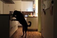 Hund ist alleine Zuhause und räumt die Küche aus