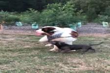 Bernhardiner mit Eselsgeduld