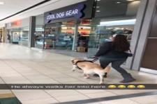 Der Blindenhund weiß genau wo er hin will
