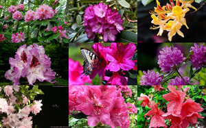 Rhododendrons - Rhododendren