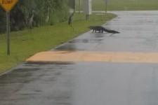 Keine Angst vor dem Alligator
