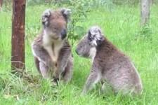 Wenn sich Koalabären streiten