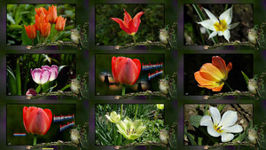Tulpenland Holland