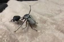 Käfer-Kampf