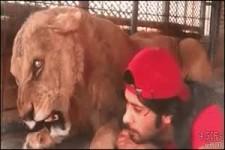 Löwin ist blind, gestresst, weil sie in ein neues Gehege....