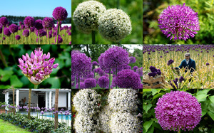 Alliums - Allium