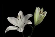 White Lilies - Weiße Lilien