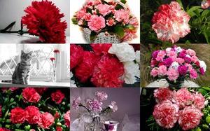 Carnations - Nelken