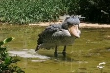 Schuhschnabel Vogel