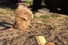 Erdmännchen isst Banane