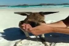 Durstiges Kaenguru