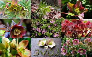 Hellebores - Hellebores ist eine Gartenpflanze