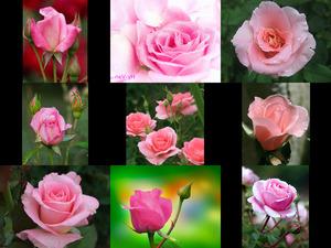 Pink roses - Rosa Rosen