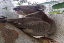 Lustiger Koala