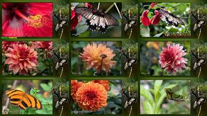 Lepidoptera - Schmetterlinge