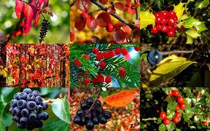 Autumn Berries 1 - Herbstbeeren 1