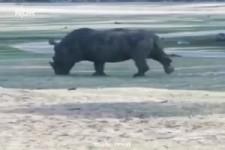 Ein wütender Rhinozeros