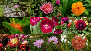 San Francisco Golden Gate Park Dahlia - Botanischer Garten