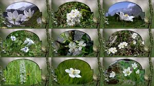 White Alps Flowers - Weiße Alpenblumen