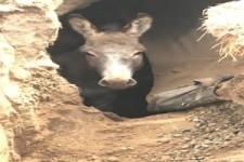 Höhlen-Esel